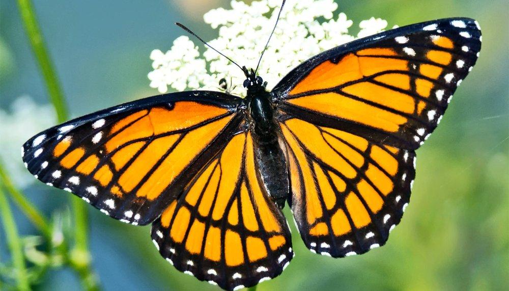 viceroy-butterfly_1600