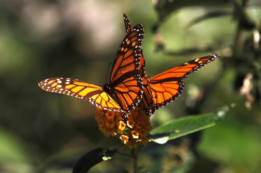 Image: File photo of Monarch butterflies clinging to a plant at the Monarch Grove Sanctuary in Pacific Grove