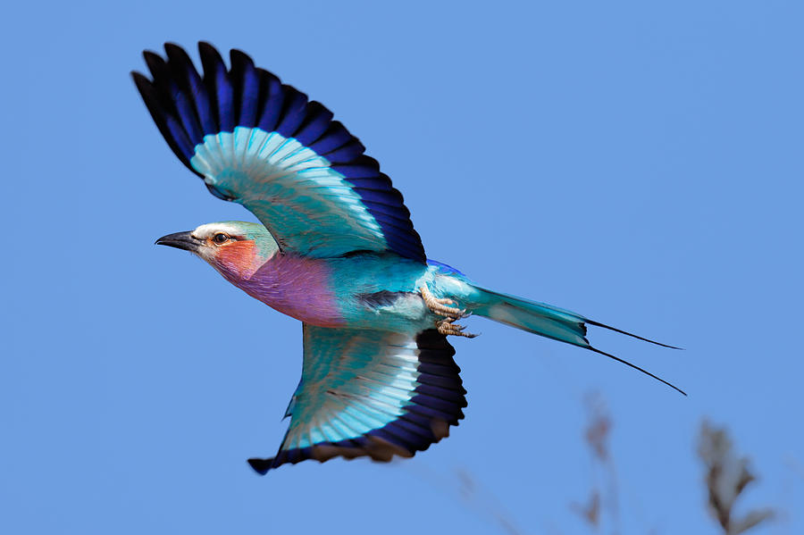 lilac-breasted-roller-in-flight-johan-swanepoel