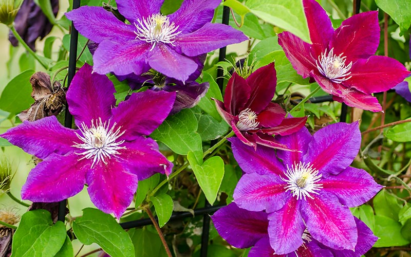 all-about-colorful-climbing-clematis-section-2