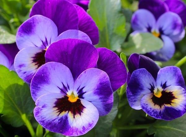 Pansies-top-beautiful-flower
