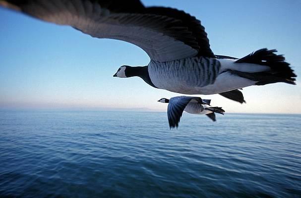 barnacle-geese-flying-patrick-landmannscience-photo-library