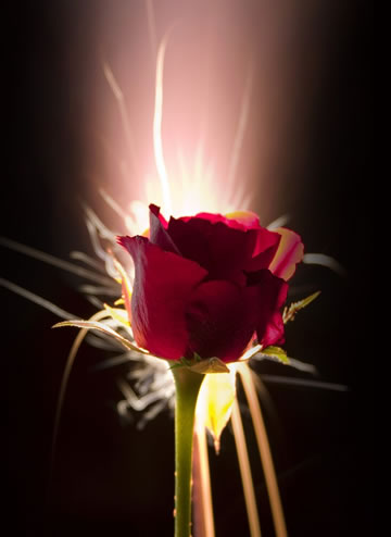 glowing-rose