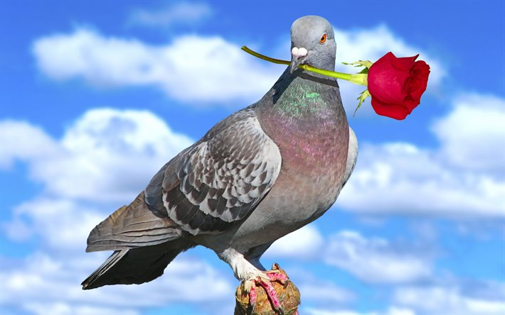 thumb2-dove-with-rose-close-up-blue-sky-peace-bird-gray-dove