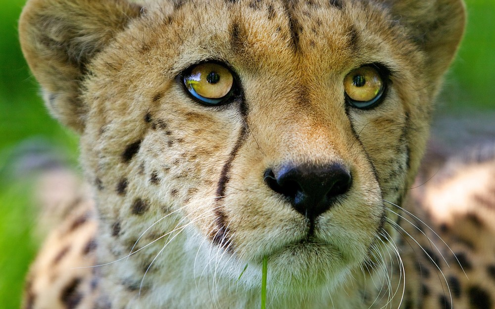big-eyes-glance-animals-animal-samsung-whiskers-cheetahs-cats-snout-desktop-images-pet-cool-1920x1200